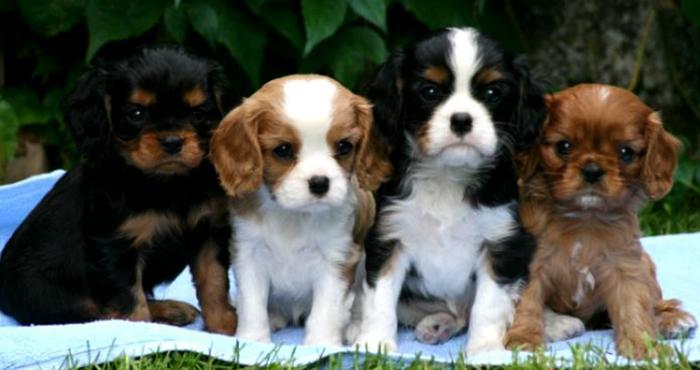 4 щенка кавалер кинг чарльз спаниеля