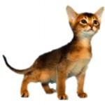 Сколько в среднем стоит абиссинская кошка и где ее можно купить?