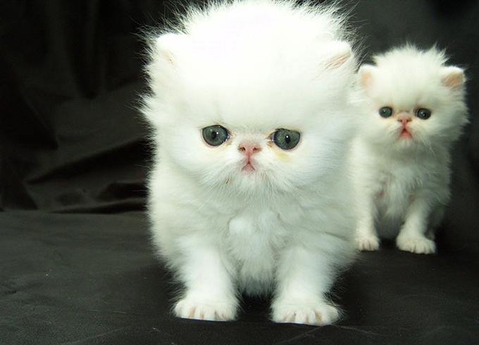 Белые персидские котята