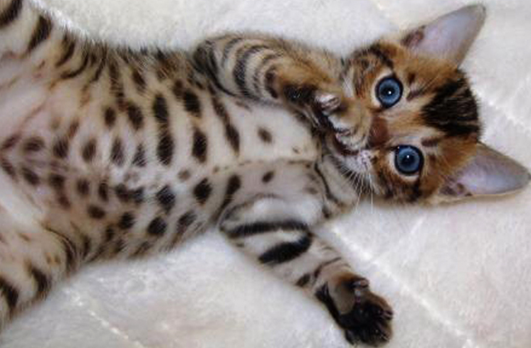 Сколько стоит порода кошек тор thumbnail