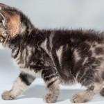 Сколько стоит котенок курильского бобтейла и где его купить?