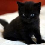 Сколько в среднем по России стоит бомбейская кошка