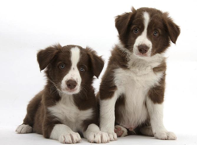 2 щенка бордер-колли