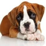 Сколько стоит собака породы боксер и от чего зависит цена