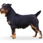 Сколько стоит щенок ягдтерьера и где его можно приобрести?