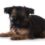 Сколько стоит собака породы грифон — цены и особенности приобретения