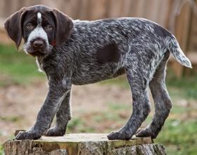 Сколько в среднем стоит щенок дратхаара и где его можно купить