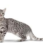 Сколько стоит египетская кошка — средние цены
