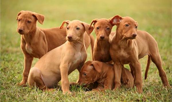 Милые щенята египетской собаки