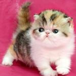 Сколько стоит котенок экзот и от чего зависит стоимость?