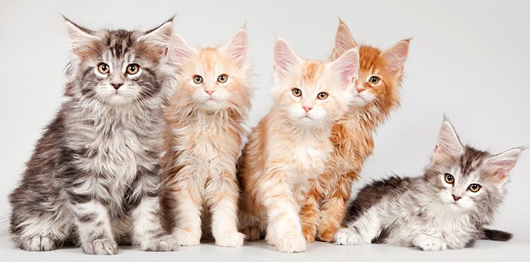 5 котят Мейн-кунов