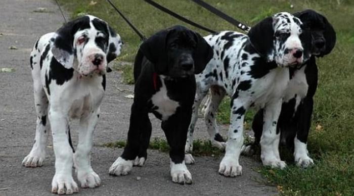 4 щенка немецкого дога