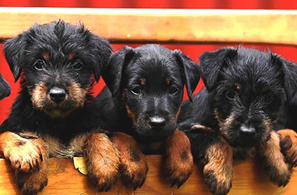 3 щенка ягдтерьера