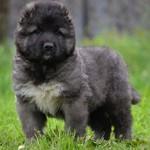 Сколько стоит щенок кавказской овчарки — примерные цены