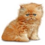 Сколько в среднем стоит персидская кошка и где ее можно купить?