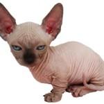 Сколько стоит кошка породы сфинкс и от чего зависит стоимость?