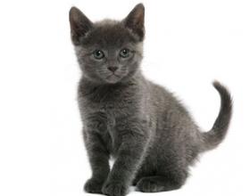 Сколько стоит русская голубая кошка и от чего зависит цена