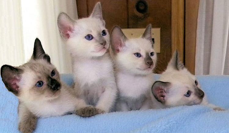Милые тайские котята