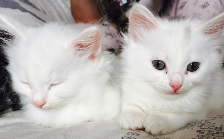 2 белых котенка