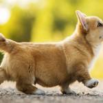 Сколько в среднем стоит щенок породы корги