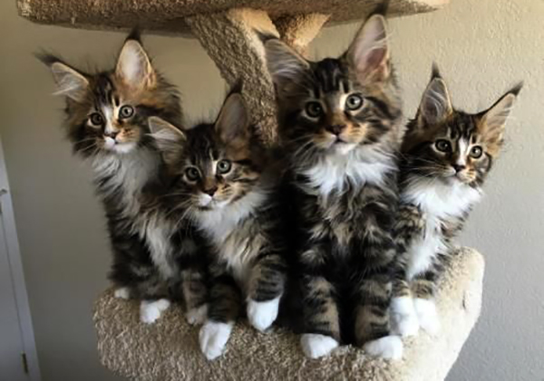 Maine coon cat price