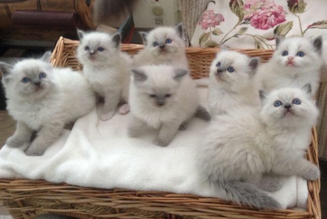 Котята регдоллы