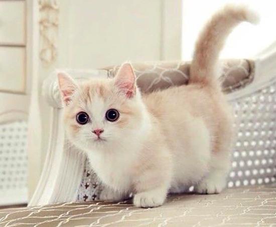 Сколько стоит кошка с короткими лапками thumbnail