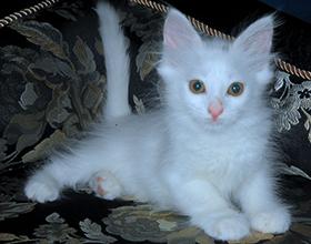 Сколько стоит котенок турецкой ангоры и от чего зависит цена?