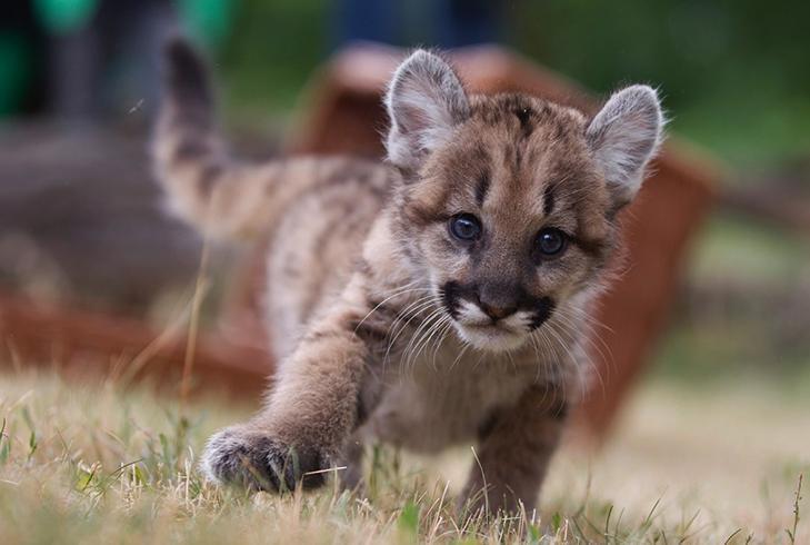 Красивый котенок пумы