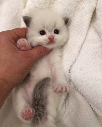 Красивый котенок рэгдолл