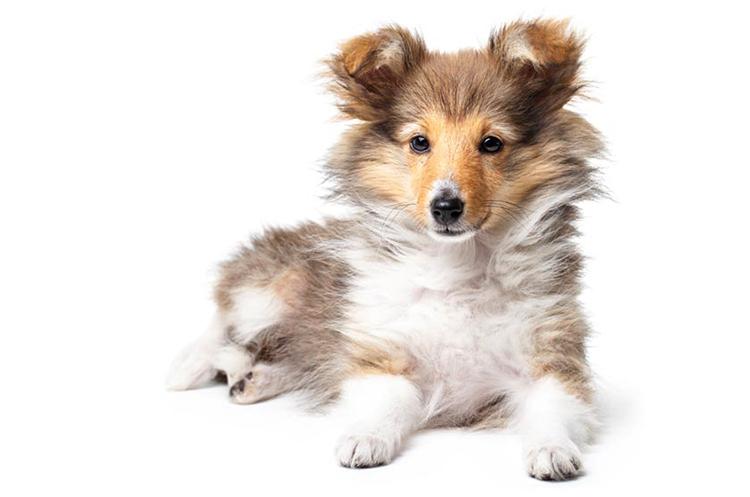 Красивый щенок шелти