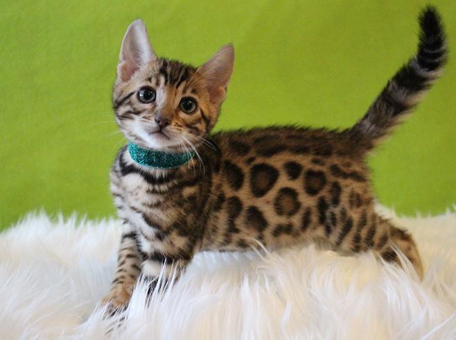 Красивый бенгальский котенок