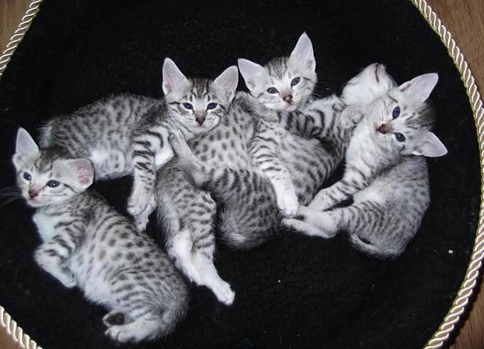 Красивые котята Мау