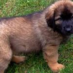 Сколько стоит щенок породы леонбергер и от чего зависит цена?