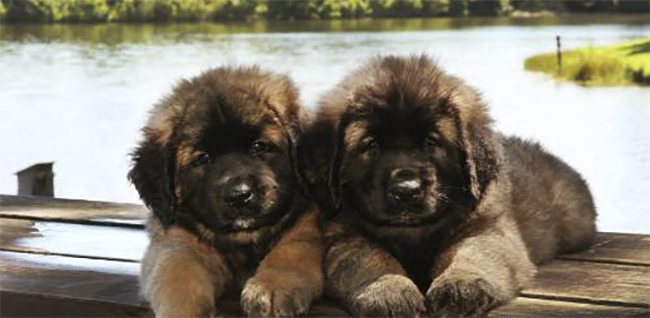 2 щенка леонбергера