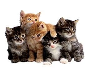 Сколько в срендем стоит котенок породы Мейн-кун