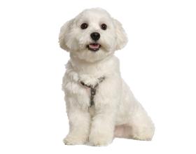 Сколько в среднем стоит щенок мальтийской болонки