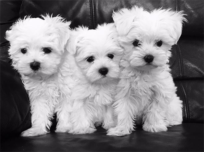 3 щенка мальтийской болонки