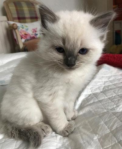 Милый котенок рэгдолл