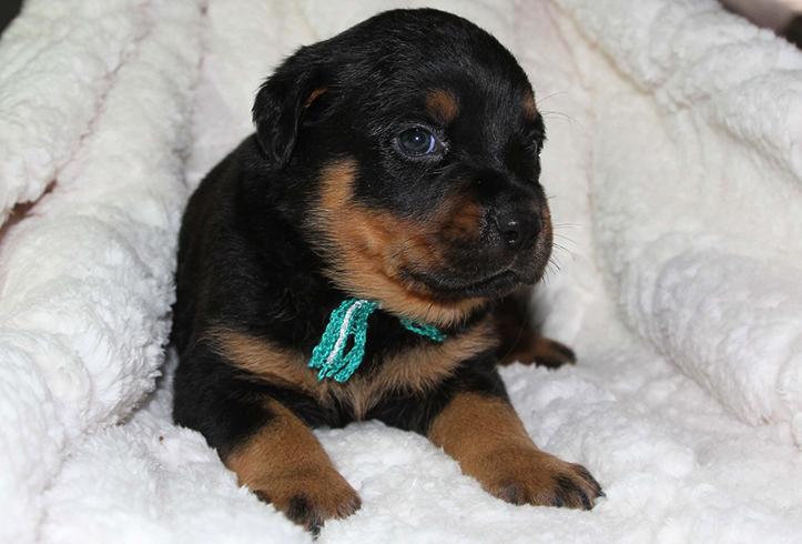 Милый щенок ротвейлера