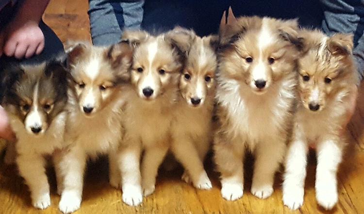 Милые щенки шелти