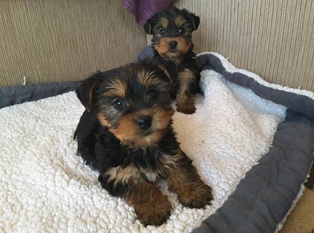 Милые щенки йорка