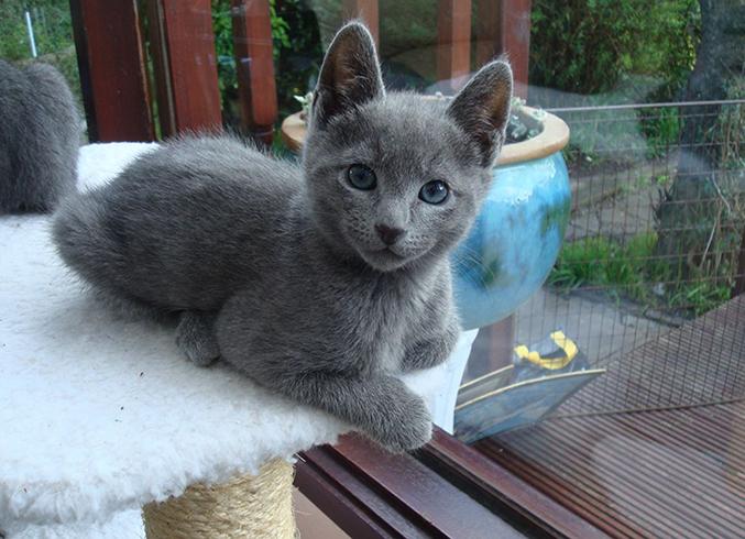 Милый русский голубой котенок