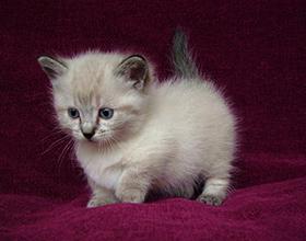 Сколько в среднем стоит котенок манчкин — особенности и расценки