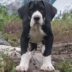 Сколько в среднем стоит щенок немецкого дога и от чего зависит цена