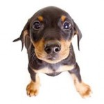 Сколько стоит щенок породы пинчер и от чего зависит стоимость?