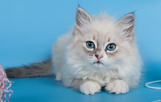 Невский маскарадные котенок
