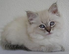 Сколько стоит невская маскарадная кошка и от чего зависит цена?