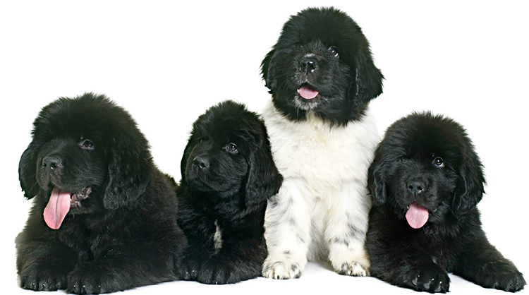 4 щенка