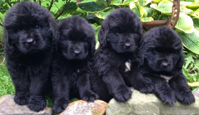 4 щенка ньюфаундленда